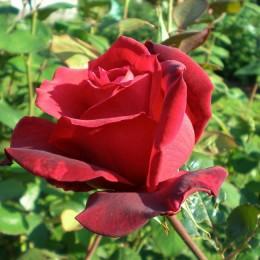 Саженцы розы Зоммердуфт