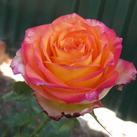 Саженцы розы Утопия
