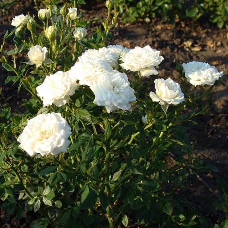 Саженцы розы Литтл Вайт