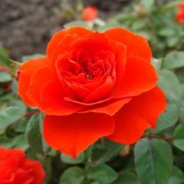 Саженцы розы Оранж Санблейз