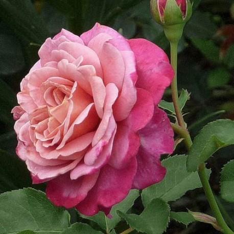 Саженцы розы Агнес Шиллингер