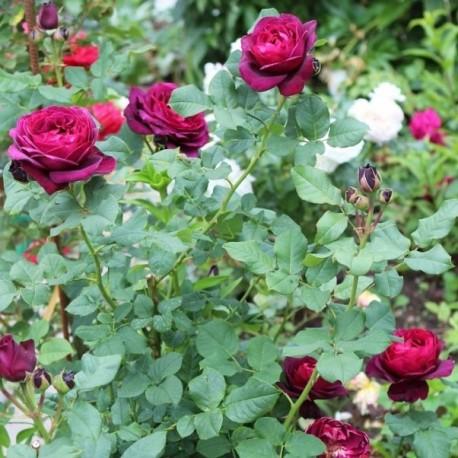 Саженцы розы Астрид Графин фон Харденберг