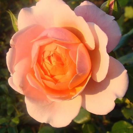 Саженцы розы Элизабет Стюарт