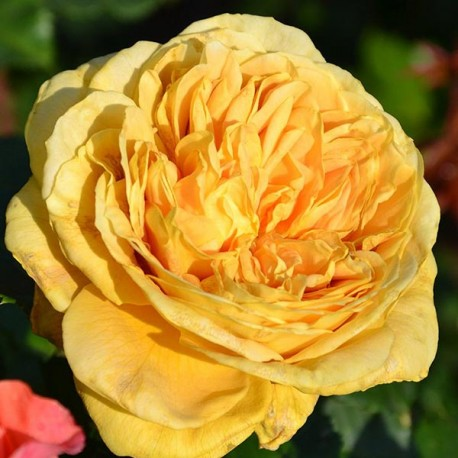 Саженцы розы Голден Зест