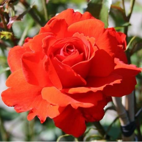 Саженцы розы Кордес Бриллиант