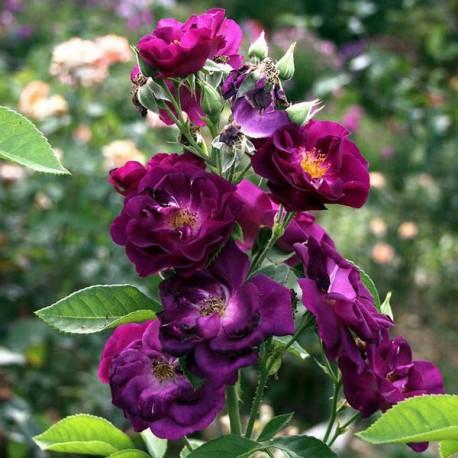 Саженцы розы Рапсоди Ин Блю