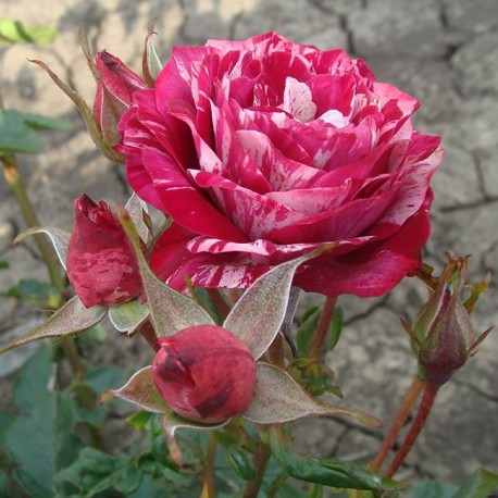 Саженцы розы Арроу Фолиес