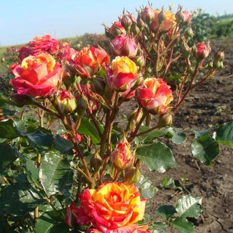 Саженцы розы Фаер Флеш