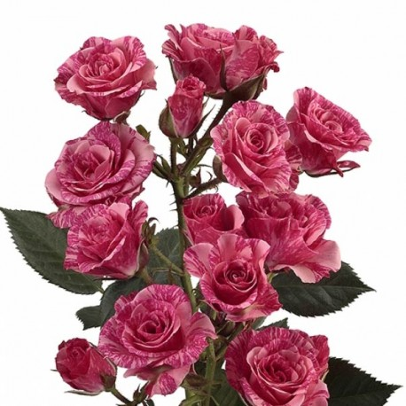 Саженцы розы Пинк Флеш