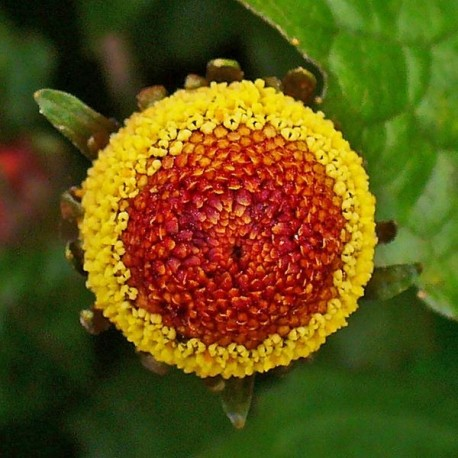 Семена Спилантеса