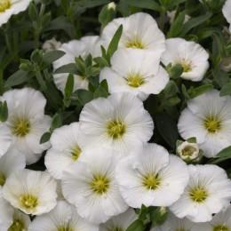Семена Аренарии