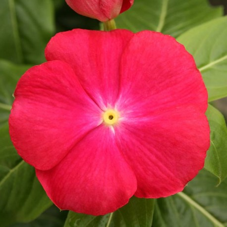 Катарантус Кобра. Выберите расцветку!: Ред