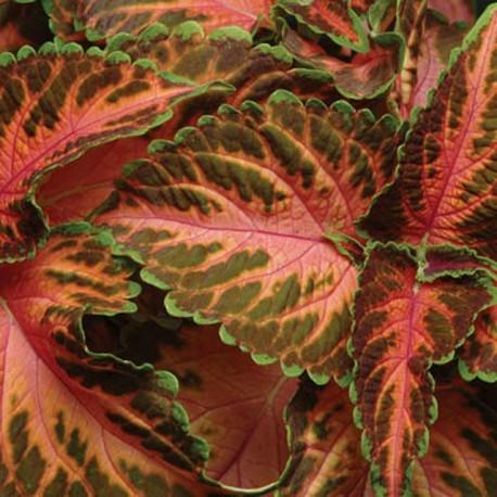 Колеус. Нажмите на выбранный цвет!: Корал Санрайс