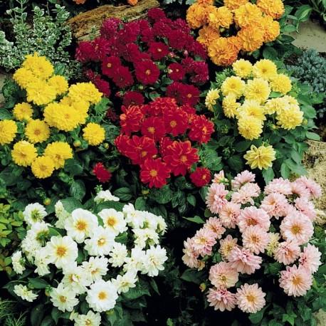 Купить многолетние цветы многолетние цветы для сада