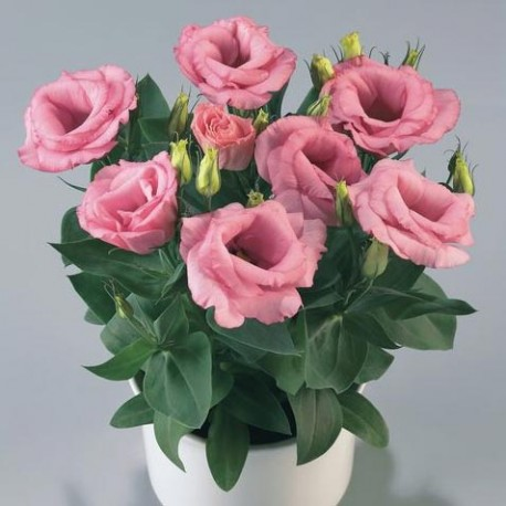 "Лизиантус Матадор. Нажмите для выбора цвета!: ""Rose Pink"""