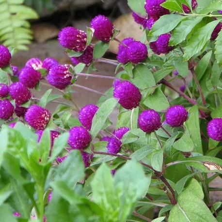 """Гомфрена. Нажмите на выбранный цвет!: """"Purple"""""""