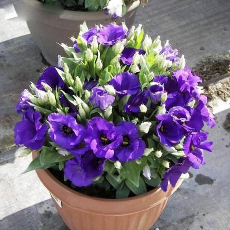 """Лизиантус Флорида. Нажмите на выбранный Цвет!: """"Blue"""""""