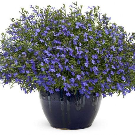 Лобелия. Нажмите, чтобы выбрать Цвет!: Midnight Blue
