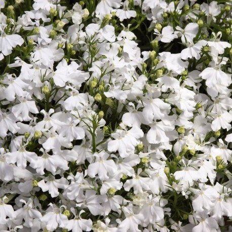 Лобелия. Нажмите, чтобы выбрать Цвет!: White