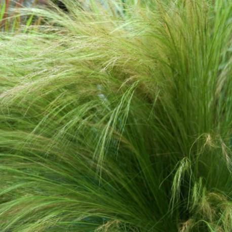 Семена Ковыля
