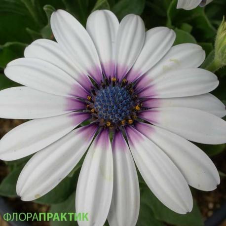 "Остеоспермум. Нажмите, чтобы выбрать Цвет!: ""White Purple Eye"""