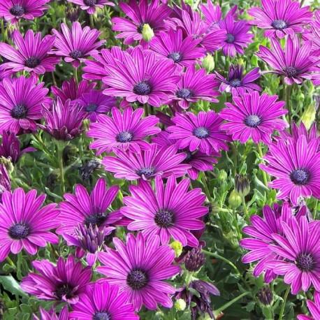 """Остеоспермум. Нажмите, чтобы выбрать Цвет!: """"Purple"""""""
