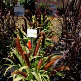 Семена Пеннисетума