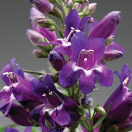 """Пенстемон. Нажмите на выбранный цвет!: """"Violet Shades"""""""