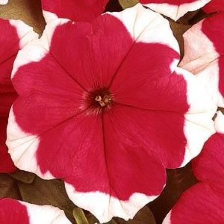 Петуния Дримс. Выберите расцветку!: Ред Пикоти