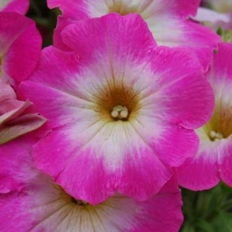 Петуния Мираж. Выберите расцветку!: Роуз Морн