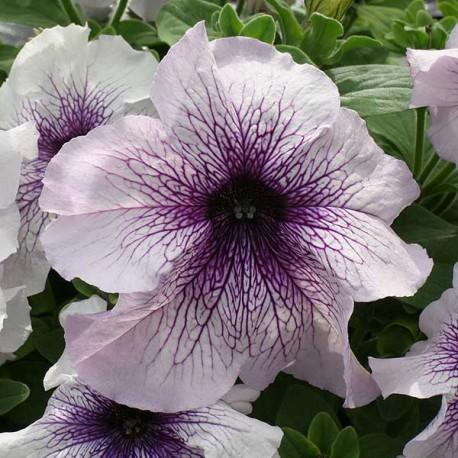 Петуния Призм. Выберите расцветку!: Блекберри