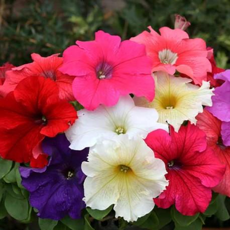 Петуния Призм. Выберите расцветку!: Смесь