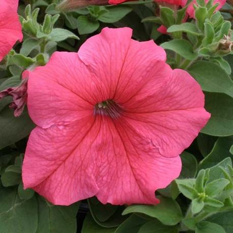 Петуния Призм. Выберите расцветку!: Салмон
