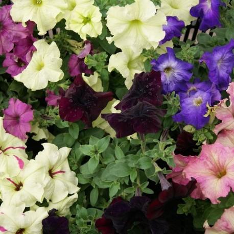 Купить цветы петунии рассаду, свисающие букеты