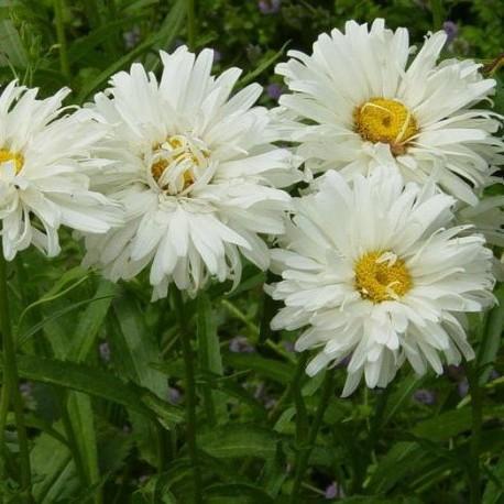 Семена Ромашки Садовой
