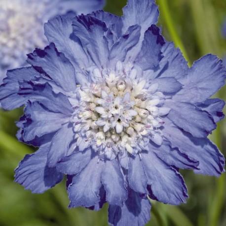 """Скабиоза Fama. Нажмите на выбранный цвет!: """"Deep Blue"""""""