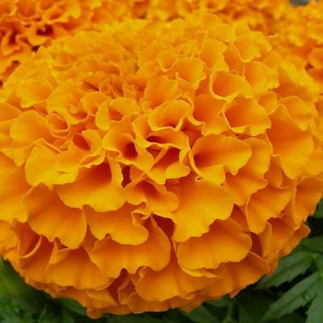 Тагетес Тайшан.: Оранж