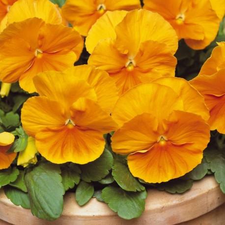 Виола Матрикс. Нажмите на выбранный цвет.: Оранж