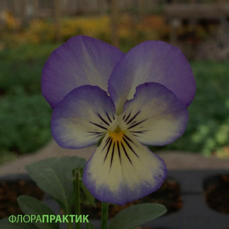 Виола Сорбет. Нажмите на выбранный цвет.: Коконат Свирл