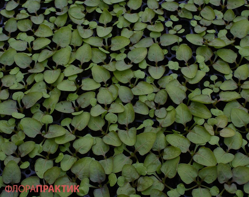 Семена цветов однолеток l Русские Семена  интернетмагазин