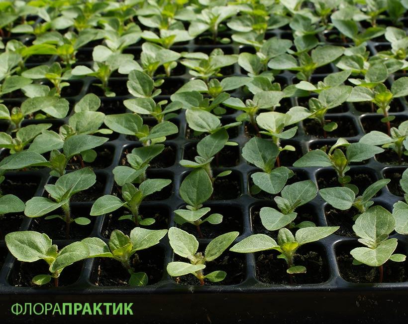 Агератум выращивание из семян 66