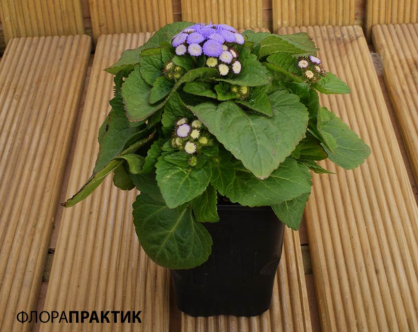 Агератум выращивание из семян 33