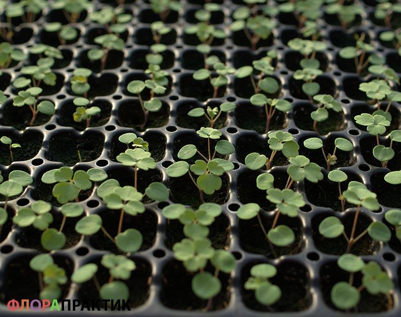Аквилегия посадка на рассаду семенами 87