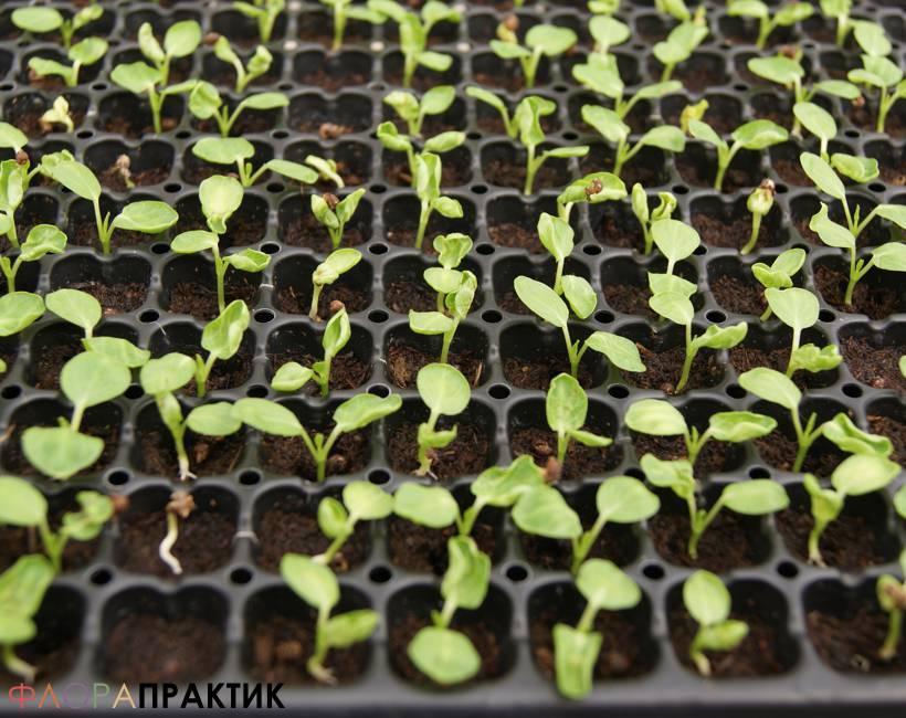 Гибискусы выращивание из семян 46