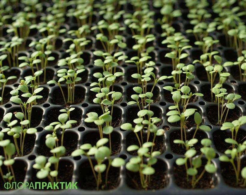 Как вырастить алиссум из семян на рассаду