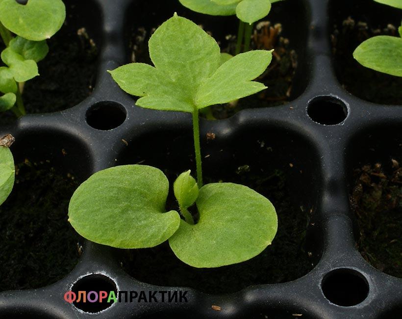 Вырастить семена дельфиниума на рассаду 384