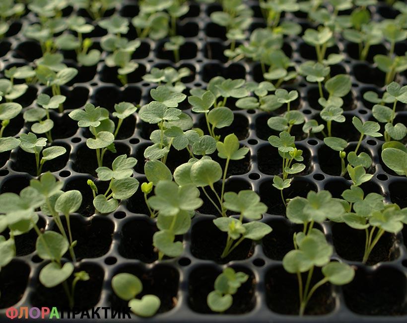 Вырастить семена дельфиниума на рассаду 216