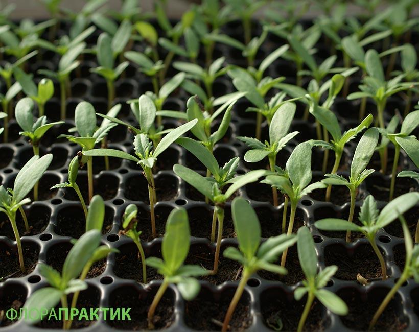 Как вырастить рассаду бархатцев в домашних 23