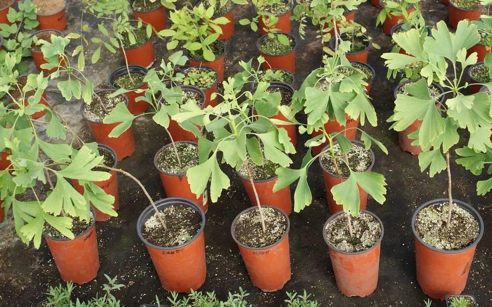 Гинкго двухлопастное выращивание 27